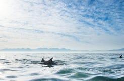 Grupp av delfin som simmar i havet Arkivfoton