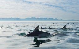 Grupp av delfin som simmar i havet Arkivbild