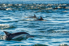 Grupp av delfin som simmar i havet Royaltyfria Foton