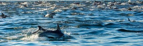Grupp av delfin som simmar i havet Royaltyfri Fotografi