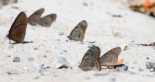 Grupp av den bruna fjärilen arkivfoton