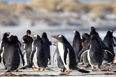 Grupp av den Gentoo pingvinet (pygoscelisen papua) tillsammans på en strand Fotografering för Bildbyråer