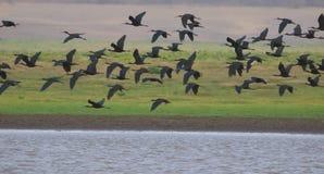 Grupp av den glansiga ibits Royaltyfri Bild