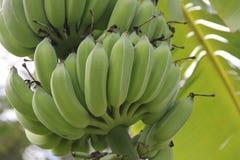 Grupp av den gröna bananen på tree Fotografering för Bildbyråer