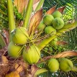 Grupp av den gröna kokosnöten på trädet Royaltyfri Bild