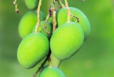 Grupp av den gröna mango på träd Arkivfoto