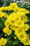 Grupp av den gula blomman Arkivfoton