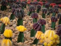 Grupp av den härliga kaktusväxten Royaltyfri Fotografi