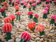 Grupp av den härliga kaktusväxten Fotografering för Bildbyråer
