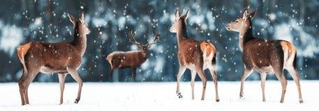 Grupp av den härliga kvinnlign och manliga hjortar i den snöig vita för hjortCervus för skog nobla elaphusen Konstnärlig julvinte arkivfoton