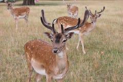 Grupp av den i träda fullvuxen hankronhjortblicken till kameran Royaltyfria Foton
