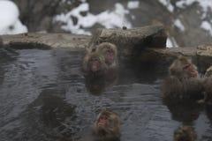 Grupp av den japanska macaquen eller snöapan, Macacafuscata och att sitta i den varma våren som ser kameran Joshinetsu-Kogen medb royaltyfria bilder