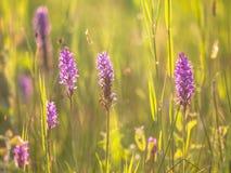 Grupp av den lösa europeiska orkidén i ett gräsfält Fotografering för Bildbyråer