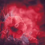Grupp av den röda hibiskusblomman Royaltyfri Bild