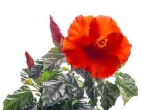 Grupp av den röda hibiskusblomman Royaltyfria Bilder