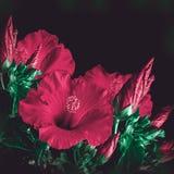 Grupp av den röda hibiskusblomman Royaltyfri Foto