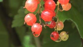Grupp av den röda vinbäret. stock video