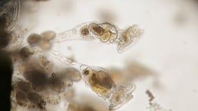 Grupp av den sötvattens- rotiferen eller Rotifera, hjuldjur Bentic Royaltyfri Foto