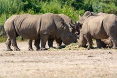 Grupp av den stora vuxna afrikanska svarta noshörningen som äter gräs i safa Royaltyfria Bilder