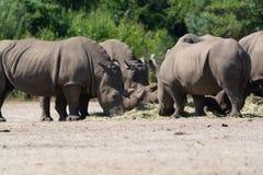 Grupp av den stora vuxna afrikanska svarta noshörningen som äter gräs i safa royaltyfri foto