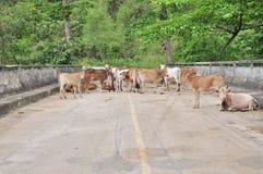 Grupp av den thai kon på vägen. Royaltyfria Bilder