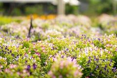 Grupp av den Torenia fournierien eller gaffelbenblomma i trädgård Arkivbild
