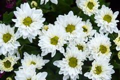 Grupp av den vita blomman Royaltyfria Bilder