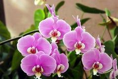 Grupp av det exotiska violetta skottet för blomma för malorkidé på Mahabaleshwar, Indien royaltyfri fotografi