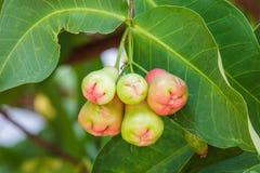 Ungt rosa äpple royaltyfri fotografi