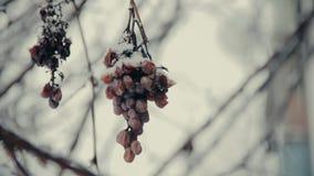 Grupp av djupfrysta tröga druvor under snön som täckas i vinter