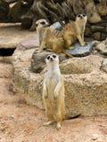 Grupp av djuret för tre meerkat Arkivfoto