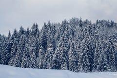 Grupp av dolda granträd för snö Snö-täckt skog i bergen royaltyfri bild