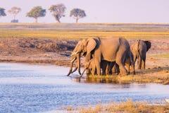 Grupp av dricksvatten för afrikanska elefanter från den Chobe floden på solnedgången Det djurlivsafari och fartyget kryssar omkri royaltyfri fotografi
