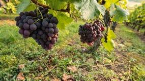 Grupp av druvor av Pinot Noir arkivbild