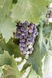 Grupp av druvor i en vingård Arkivfoton