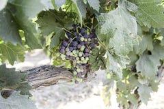 Grupp av druvor i en vingård Arkivbilder