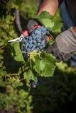 Grupp av druvor i händerna Fotografering för Bildbyråer