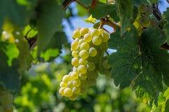 Grupp av druvor på en vine Fotografering för Bildbyråer