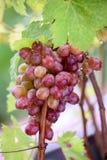 Grupp av druvor på en vinranka i solskenet Arkivbild