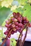 Grupp av druvor på en vinranka i solskenet Arkivbilder