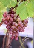 Grupp av druvor på en vinranka i solskenet Royaltyfri Bild