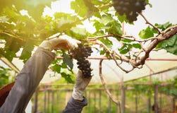 Grupp av druvor på en vinranka i solskenet royaltyfria foton
