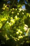 Grupp av druvor på vinrankan som mognar i solsken Fotografering för Bildbyråer