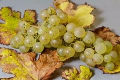Grupp av druvor på vinrankasidor Arkivfoto