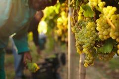 Grupp av druvor på vinrankor i vingård Royaltyfria Bilder