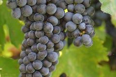 Grupp av druvor som växer på en vinranka, närbild Druvasidor i bakgrunden royaltyfri foto