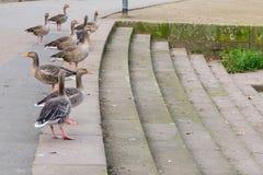 Grupp av ducky Royaltyfri Bild
