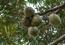 Grupp av durians på träd Royaltyfria Foton