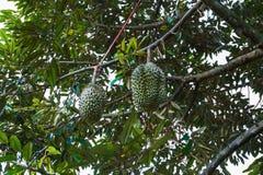 Grupp av durians på träd Royaltyfri Foto