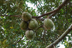 Grupp av durians på träd Fotografering för Bildbyråer